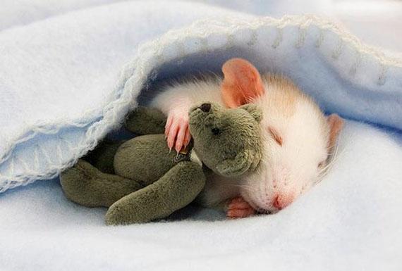 Les rats nouvelles stars du net